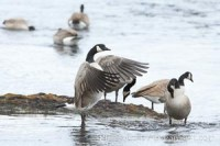 canada goose branta canadensis 19569 - HEALTH AND FITNESS