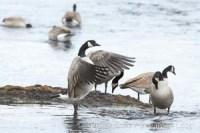 canada goose branta canadensis 19569