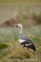 chloephaga picta upland goose falklands 23769