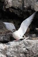 creagrus furcata swallowtail gull 16591