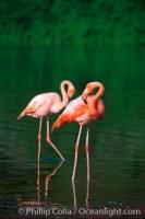 greater flamingo phoenicopterus ruber 02279