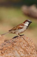 house sparrow passer domesticus 22945 - HEALTH AND FITNESS