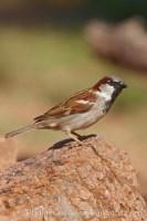 house sparrow passer domesticus 22945