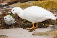 kelp goose eating kelp falklands 23752