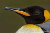 king penguin aptenodytes patagonicus 24581 - HEALTH AND FITNESS