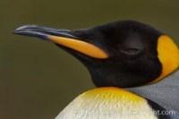 king penguin aptenodytes patagonicus 24581