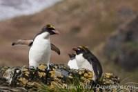 macaroni penguin south georgia island 24390