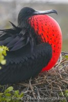 magnificent frigatebird 16725 - HEALTH AND FITNESS