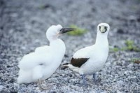 masked booby 00861