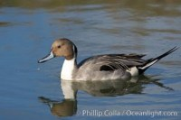 northern pintail anas acuta 15710 - HEALTH AND FITNESS