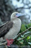 red footed booby 03254