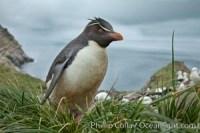 rockhopper penguin falkland islands 23932 - HEALTH AND FITNESS