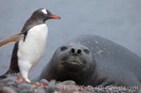 southern elephant seal antarctica antarctica 25915 - HEALTH AND FITNESS