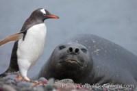 southern elephant seal antarctica antarctica 25915
