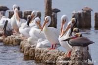 white pelican 22502
