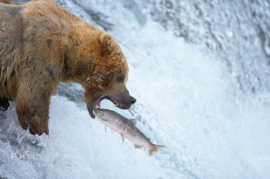 Image: An image taken right as An Alaskan brown bear catches a jumping salmon, Brooks Falls. Brooks River, Katmai National Park, Alaska, USA,