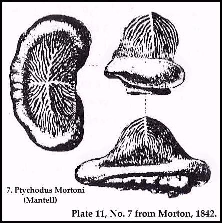 Ptychodus mortoni fossils
