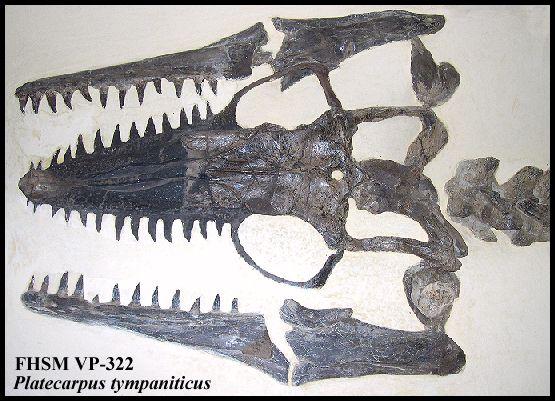 Platecarpus, a Kansas mosasaur