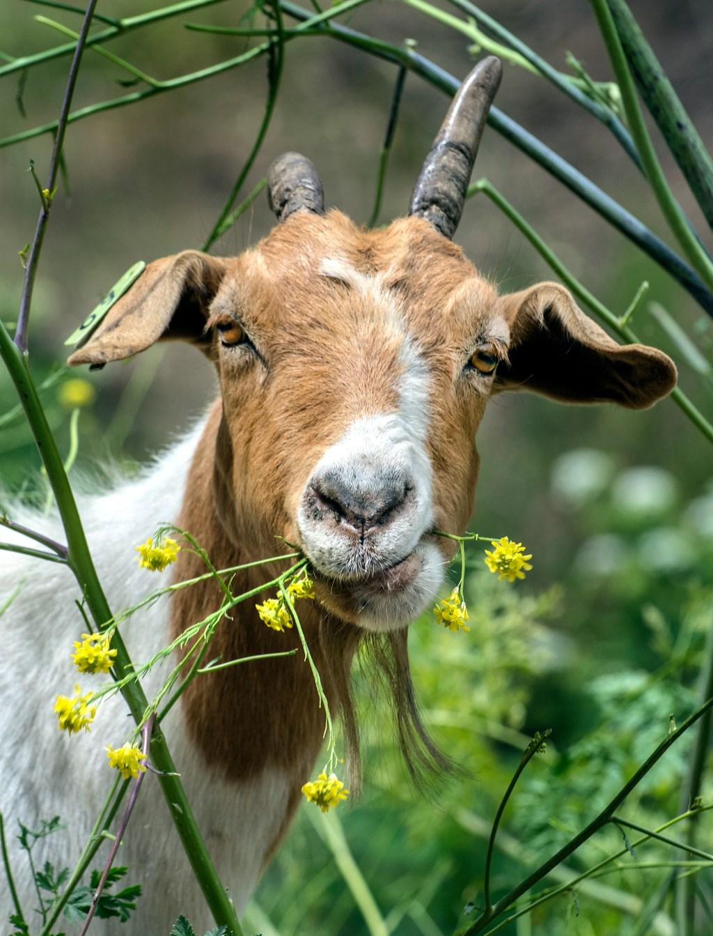 Goats chew their way through Anaheim brush to reduce fire