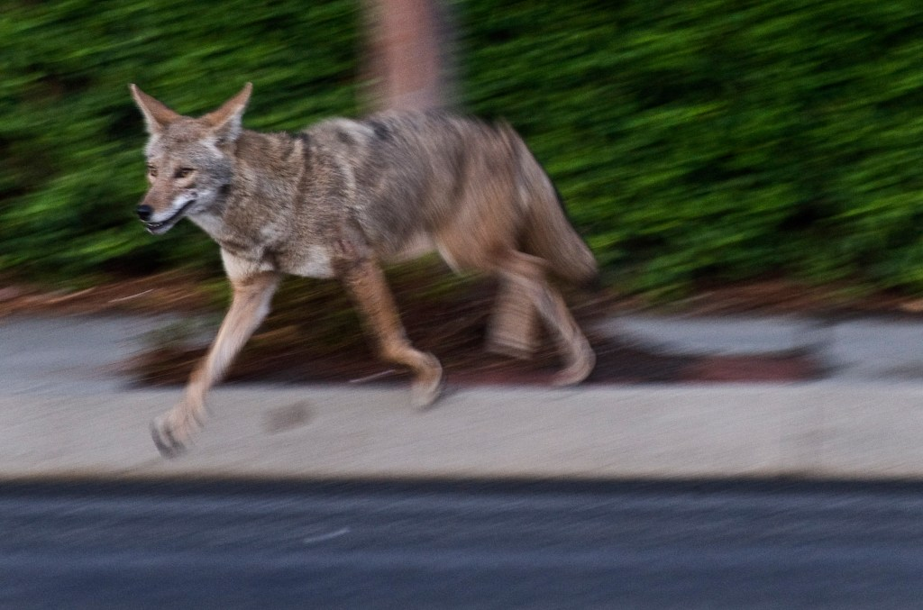 What do coyotes eat A look at the food chain  Orange County Register