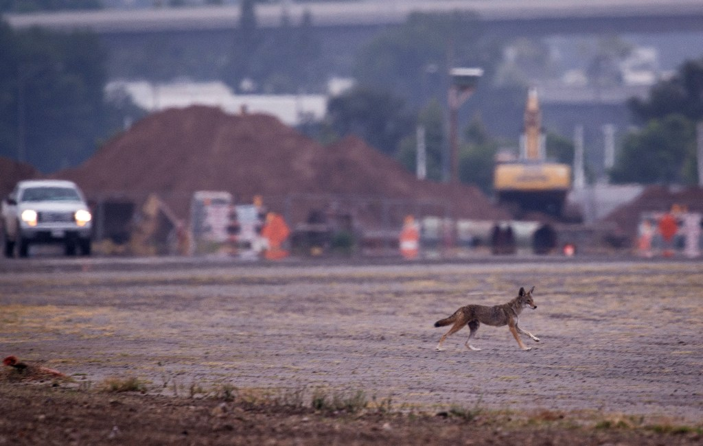How high a fence can coyotes jump  Orange County Register