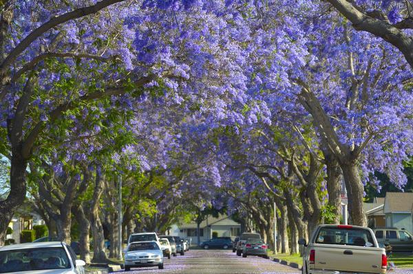 Mr Long Beach Love hate bloom under jacaranda trees