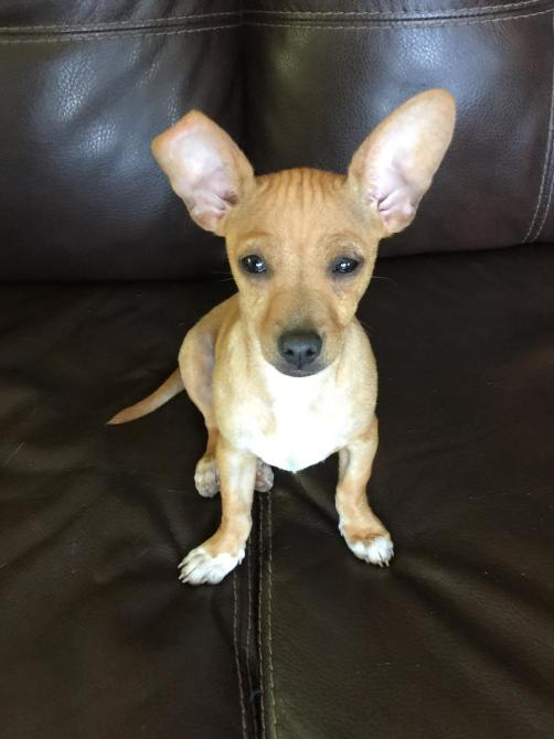 Adopt a pet DachshundChihuahua mix Sammy will keep you laughing  Orange County Register