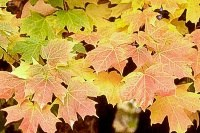 Acer-saccharum-fall color