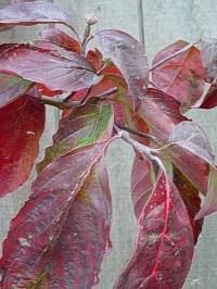 Flowering Dogwood - Cornus florida fall color