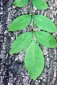 Green Ash - Fraxinus pennsylvanica