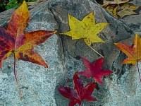Sweet Gum - Liquidambar styraciflua fall leaf color