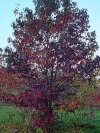 Sweet Gum - Liquidambar styraciflua fall form