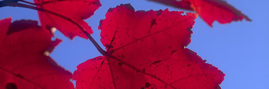 Acer rubrum fall color detail - Copyright Mark Gormel 900x300