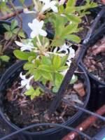 Blog Gallon Pot Azalea