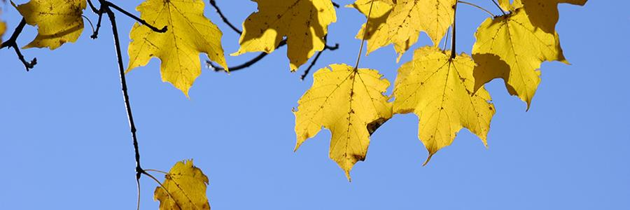 Yellow sugar maple leaves against blue sky - Copyright Mark Gormel 900x300