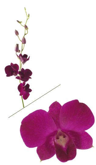 Purple Dendro