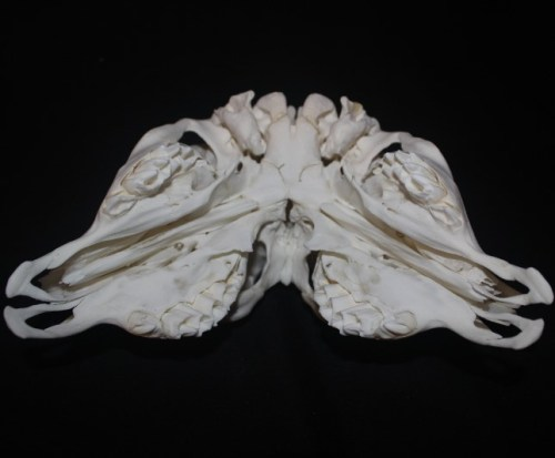 Two-faced calf skull #1 underside showing cleft palates finished March, 2017