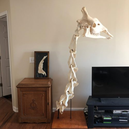 "Large Male Giraffe neck articulation standing 6' 8"" tall finished January, 2018"