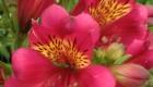 pink alstroemeria flower with orange inside