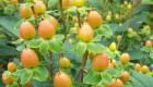 hypericum pacific amber