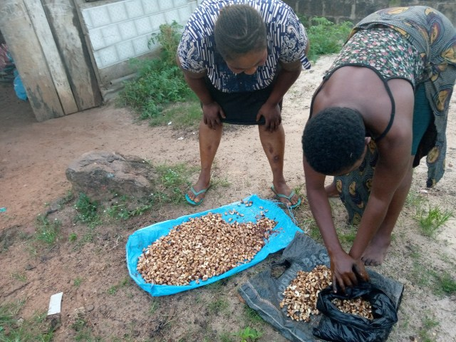 Mrs Ginika Owoh and Mrs Eze Ogochukwu packing cashew spread in the sun to dry rather than bake at Awkunano Udi