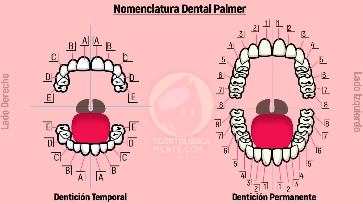 Nomenclatura Dental Palmer