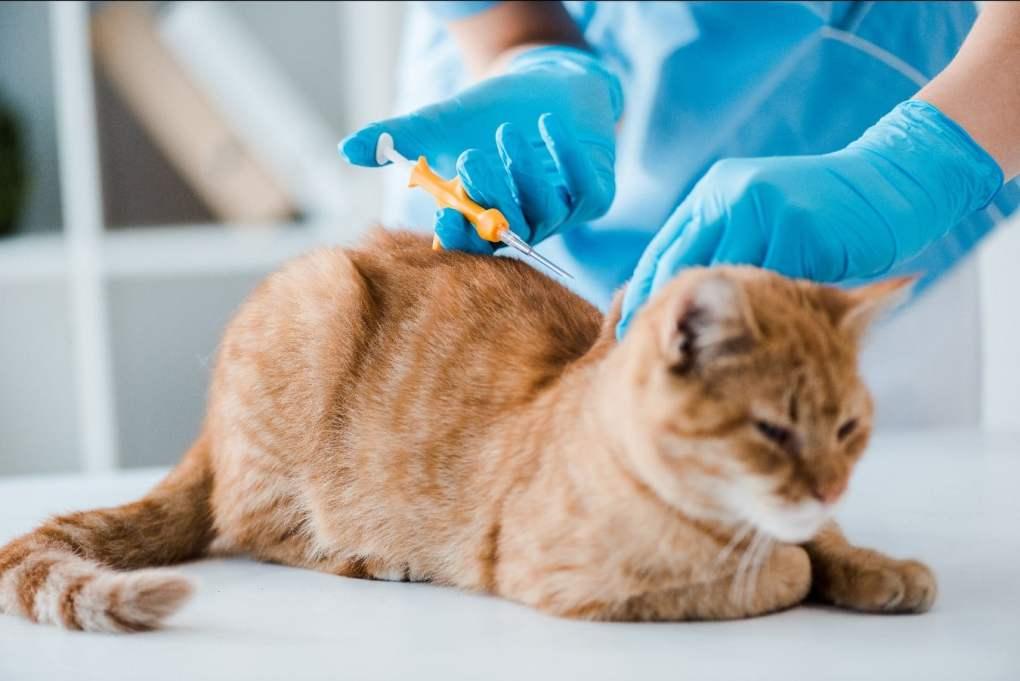 microchipping cat