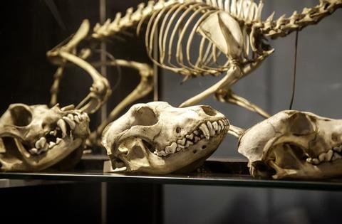 Goat skeleton display