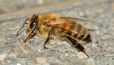 Proč včela po bodnutí žihadlem umírá?