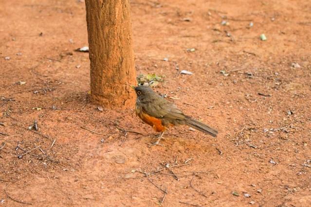 22022015-sabia-laranjeira-faminto