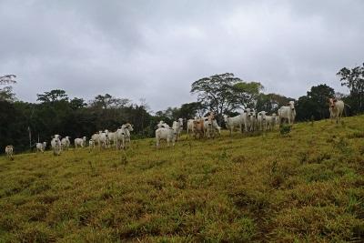 O gado, o vilão inesperado na Amazônia brasileira. Foto: Duda Menegassi.
