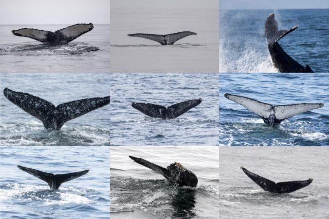 Nadadeiras são as digitais das baleias Jubartes. Pesquisadores trocam fotos para saber se uma espécime fotografada em determinado estado foi visto em outro. Imagem: Projeto Baleia à Vista.