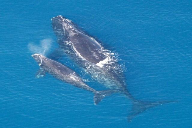 Baleia-franca-do-atlântico-norte (Eubalaena glacialis) e filhote. Foto: Wikipedia.
