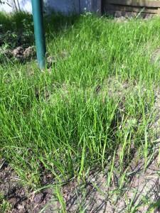 Gesäter Rasen zeigt schon nach sehr kurzer Zeit erste Erfolge. Er braucht sehr häufoge Wässerung - auch das ist ein Spaß für Kinder!